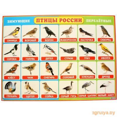 Плакат А2 «Зимующие и перелетные птицы России», Мир открыток от Мир открыток в Минске фото